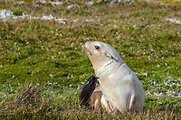 Antarctic fur seal, Arctocephalus gazella, aka Kerguelen fur seal, rare, leucistic pup, Fortuna Bay, South Georgia, Atlantic Ocean