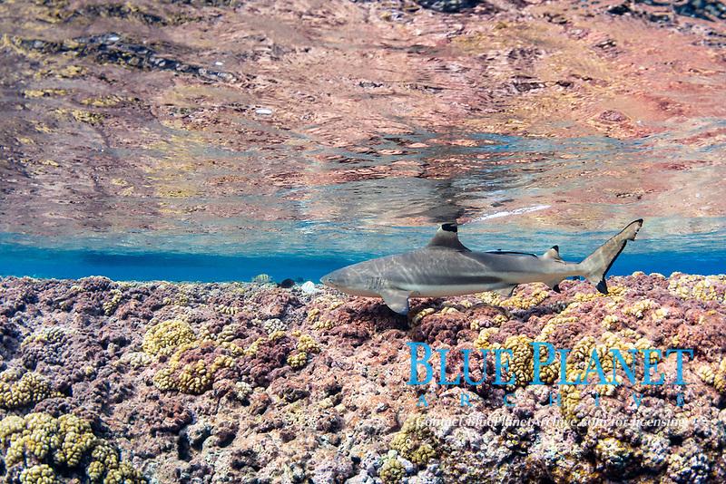 blacktip reef shark, Carcharhinus melanopterus, swimming over shallow coral reef, Roroia, Tuamotus, French Polynesia, South Pacific Ocean