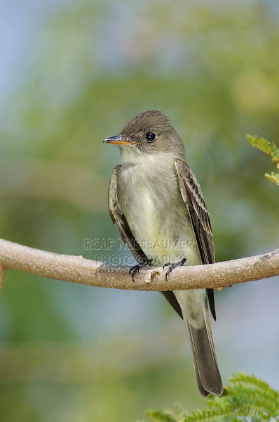 Eastern Wood-Pewee, Contopus virens, adult, South Padre Island, Texas, USA