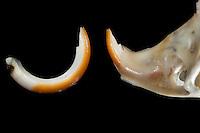 Untersuchung von einem Gewölle einer Eule, Schleiereule, Speiballen, lange Nagezähne, Nagezahn als unverdauliche Nahrungsreste, zum Vergleich ein Zahn im Oberkiefer des Schädels steckend und einer herauspräpariert. Die unverdauten Knochen als Nahrungsreste wurden aus einem Geölle heraus sortiert, Schleiereule hat eine Maus gefressen