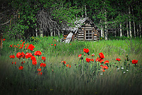 """""""POLEBRIDGE POPPIES""""<br /> <br /> Wild red poppies showcase an old cabin at Polebridge just outside Glacier National Park"""