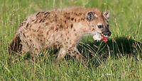 Spotted Hyena steals a hoof from Lions feeding on a Cape Buffalo, Masai Mara