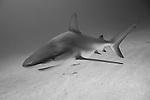 Grand Bahama Island, The Bahamas; a Caribbean Reef Shark (Carcharhinus perezi) swimming over the sandy bottom