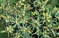 Gemeiner Wacholder, Heide-Wacholder, Heidewacholder, Blüten, Juniperus communis, Common Juniper