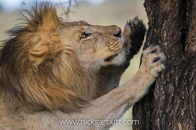 Male African Lion (Panthera leo) scratching a tree at Big Marsh, near Ndutu, Nogorongoro Conservation Area / Serengeti National Park, Tanzania. March 2015