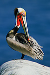 A brown pelican sits on a rock in the La Jolla cove.