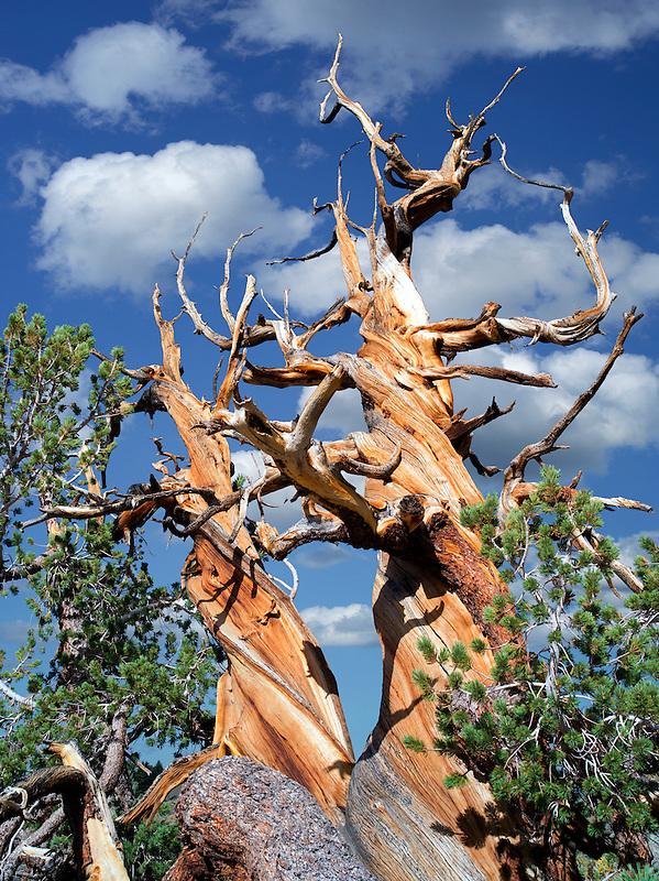 Bristlecone Pine tree. Ancient Bristlecone Pine Forest, Inyo county, California