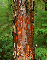 Pacific Yew Tree (Taxus brevifolia),  Washington.  Taxol used to make a cancer drug is made from the bak of pacific yew trees.