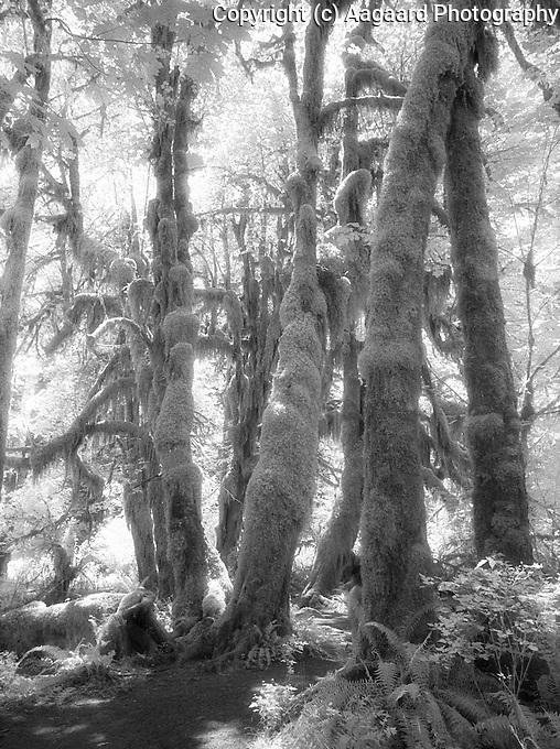 Hoh Rainforest in infrared.<br /> <br /> Kodak F3HP, 24mm lens, Kodak High Speed Infrared film, red filter