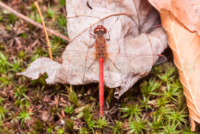 A male Autumn Meadowhawk (Sympetrum vicinum) perches near the ground on a fallen autumn leaf.