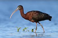 Glossy Ibis (Plegadis falcinellus). Myakka River State Park, Florida. March.