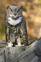Great-horned owl perched on an old fence