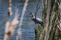 Glimpsed through the natural cover of wetland grasses, a Great Blue heron stands in the shallows, feeding.  Hunting.  Watching and waiting