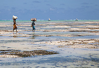 Jambiani, Zanzibar, Tanzania.  Women Carrying Harvested Seaweed in to Shore for Drying.  It will be exported to Asia.  Women receive about twelve cents a kilo.