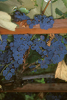 Concord grapes growing on trellis. Vitus lambrusca 'Concord' fruits