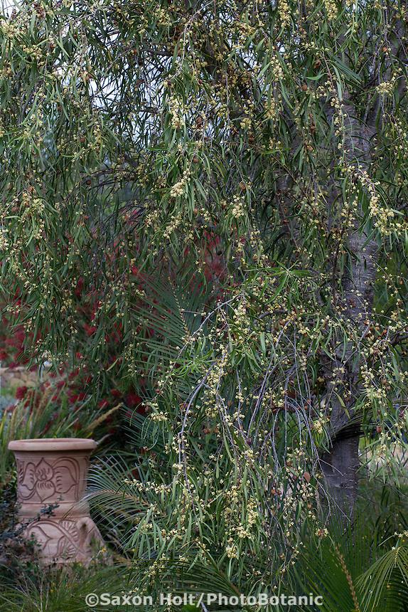 Pittosporum angustifolium, Weeping Pittosporum, small flowering tree; Australian Native Plant Nursery, Ventura, California