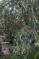 Pittosporum angustifolium, Weeping Pittosporum, small flowering tree; Australian Native Plant Nursery, Ventura, California
