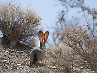 Black-tailed jackrabbit, Lepus californicus.  Wildrose Canyon, Death Valley National Park, California