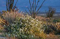 Mirabilis tenuiloba, Slender-lobed Four O'clock or Maravilla, white flowering perennial in California native plant Anza Borrego State Park