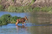 Baby Moose at Schwabacher's Landing, Grand Teton National Park