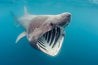 basking shark, Cetorhinus maximus, the 2nd largest fish in the sea, feeding by straining plankton through gill rakers, off Land's End, Cornwall, United Kingdom , North Atlantic Ocean