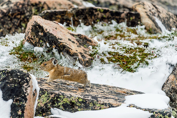 American pika (Ochotona princeps).  Beartooth Mountains, Wyoming/Montana.  Summer.  This photo was taken in alpine setting at around 11,000 feet (3350 meters) elevation.  At this elevation snow is not unusual even in late July when this image was taken.