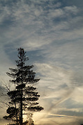 The silhouette of a pine tree forest at sunset in a New England forest, USA