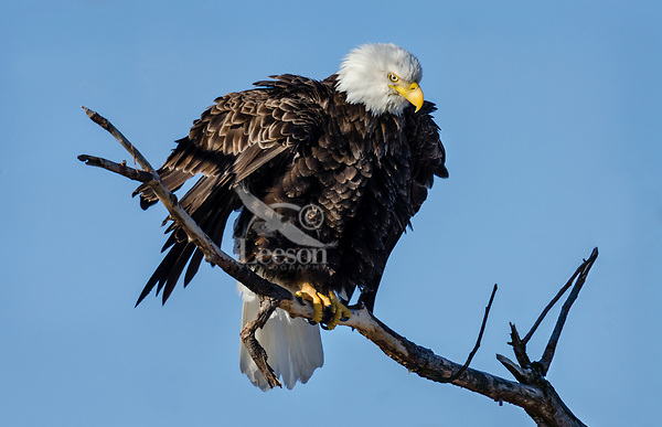 Bald Eagle (Haliaeetus leucocephalus) fluffing feathers, Lower Klamath National Wildlife Refuge, Oregon-California Border.  February.