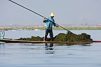 "Myanmar, Burma.  Farmers Gathering Freshwater ""Seaweed"" from Lake Bottom to use as Fertilizer on Agricultural Fields."