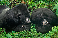 642229028 a wild male silverback and female mountain gorilla gorilla gorilla berengi share an intimate moment in their cloud forest home in virungas national park in zaire