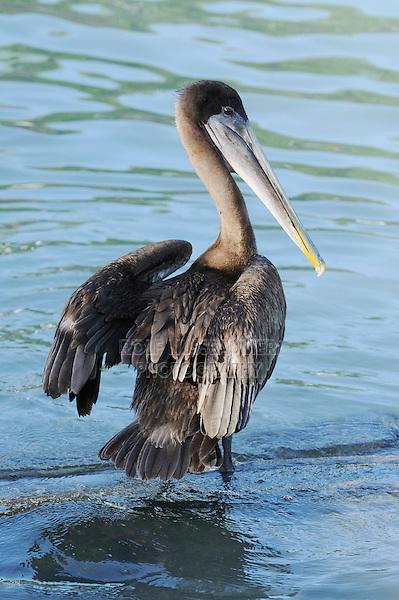 Brown Pelican (Pelecanus occidentalis), immature, Galapagos Islands, Ecuador, South America