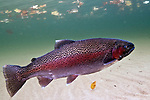 Rainbow Trout, Oncorhynchus mykiss