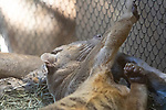 A relative of the mongoose, the cat-like Fossa lounging upside down in a straw bed.