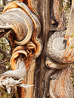 Detail of twisted bristlecone pine bark, Inyo National Forest, White Mountains, California, USA