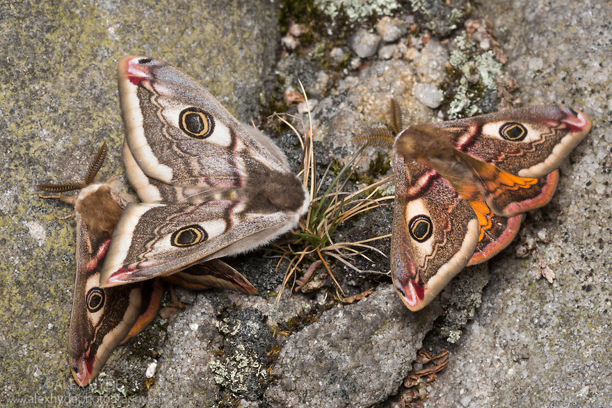 Mating Emperor Moths {Saturnia pavonia} with second male attracted in mating frenzy. Peak District National Park, UK. May.
