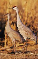 Sandhill Crane, Grus canadensis,adults in corn field, Bosque del Apache National Wildlife Refuge , New Mexico, USA