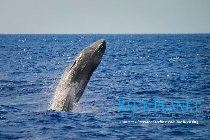 sperm whale, Physeter macrocephalus, breaching, Azores Island, Portugal, North Atlantic
