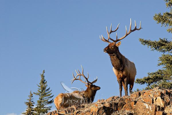 Rocky Mountain Bull Elk (Cervus canadensis)