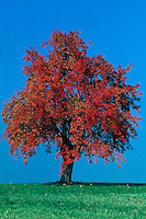 Cherry tree (Prunus sp.) in orchard with fall colors, Switzerland, Europe