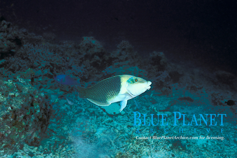 blackeye thicklip or half-and-half wrasse, Hemigymnus melapterus, terminal phase adult, Sipadan Island, off Borneo, Sabah, Malaysia (Celebes Sea), Pacific Ocean