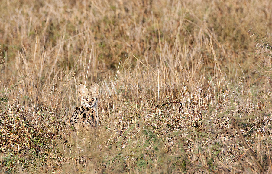 We were pretty fortunate to see seven servals on this trip, though there were few photo ops. During my return trip, we never saw any.
