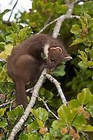 Baummarder, Edelmarder, Jungtier klettert in einem Baum, Martes martes, Pine marten, Martre des pins