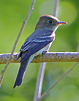 Least flycatcher in fall migration
