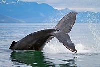 Humpback whale, Megaptera novaeangliae, fluke, peduncle throw, Frederick Sound, Alaska, Pacific Ocean
