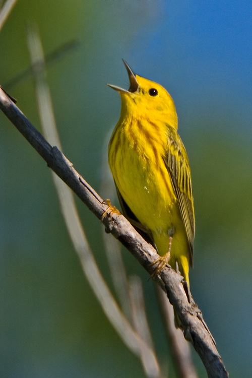 Yellow Warbler singing on an old willow tree branch