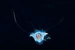 Cavolinia tridentata, Pteropod mouth open, Pteropod behavior, FL Gulfstream Current,Atlantic Ocean