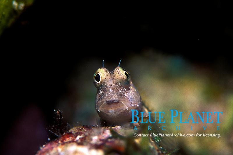 Entomarodus sp Blennies, Blenniidae, small long elongate Bottom dweller small reef fish, Tropical ocean coral reef, bottom dweller, Indo Pacific Ocean,