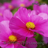 Gisela, FLOWERS, BLUMEN, FLORES, photos+++++,DTGK2352,#F#, EVERYDAY