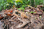 Cane Toad (Rhinella marina) (also known as Giant Neotropical Toad or Marine Toad) in leaf litter on rainforest floor. Rio Claro Reserve, Magdalena Valley, Colombia.