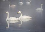 Hokkaido, Japan<br /> Whooper Swans (Cygnus cygnus) swiming in the misty open waters of frozen Lake Kussharo, Akan National Park